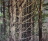 Pine Forest Landscape Oil Painting
